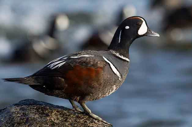 Harlequin Duck Male on Rock Birding Hotspot
