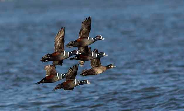 Harlequin Duck Flock in Flight Birding Hotspots