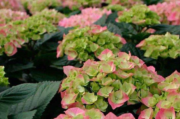 Top 10 Flowering Shrubs: Hydrangea