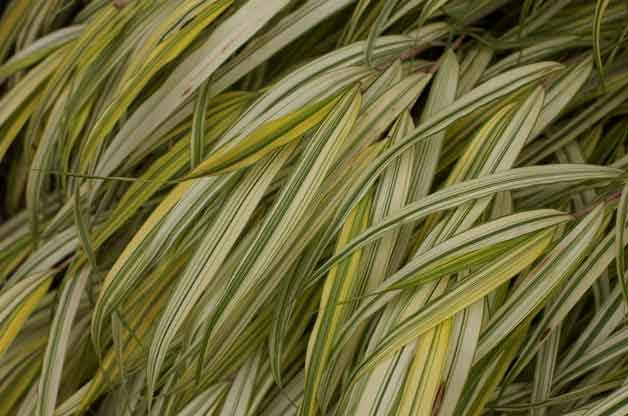 Gardening with Ornamental Grasses: Japanese Forest Grass