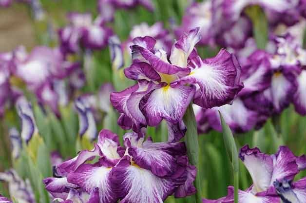 Top 10 Plants for Clay Soil: Japanese Iris