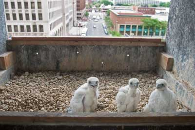 City birds spotted! Peregrine falcon chicks are on the roof of a Detroit high-rise.