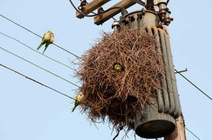 City birds like these monk parakeets have escaped captivity and live in colonies. They often build nests on power lines, as this group did near Queens, New York.