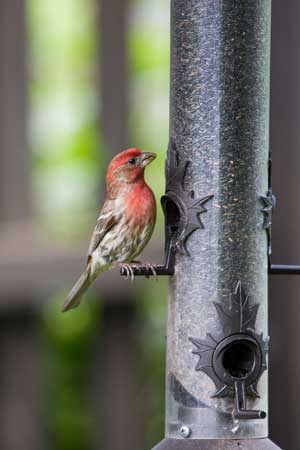 House finches are common city birds you can spot at urban bird feeders.