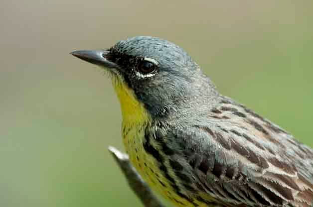 Kirtland's Warbler Birding Locations