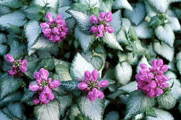 Grand Ground Cover Ideas: Lamium