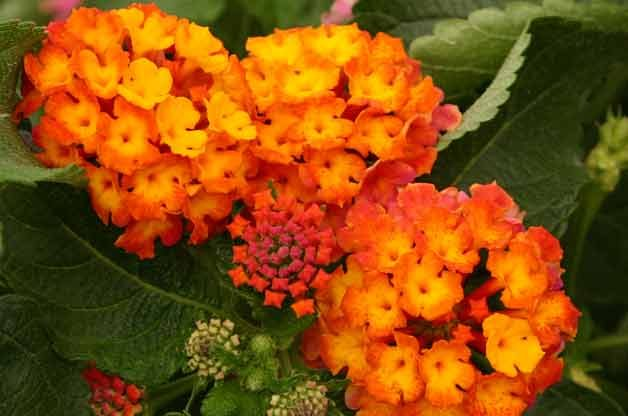 Top 10 Drought-Tolerant Plants: Lantana