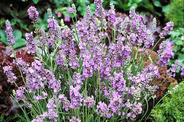 Top 10 Plants for Sandy Soil: Lavender