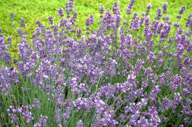 Top 10 Drought-Tolerant Plants: Lavender