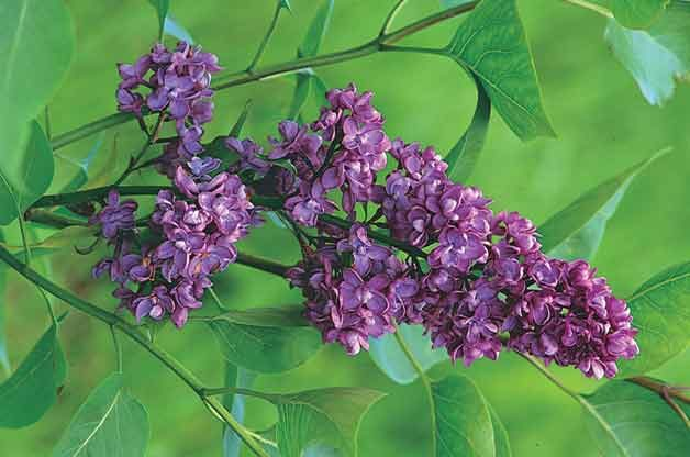Top 10 Flowering Shrubs: French Lilac