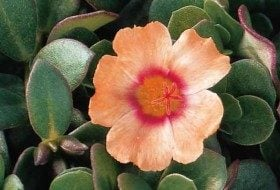 Top 10 Drought-Tolerant Plants: Portulaca