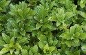Grand Ground Cover Ideas: Pachysandra