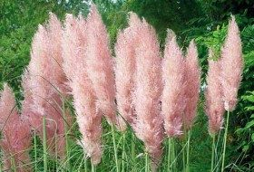 Gardening with Ornamental Grasses: Pampas Grass