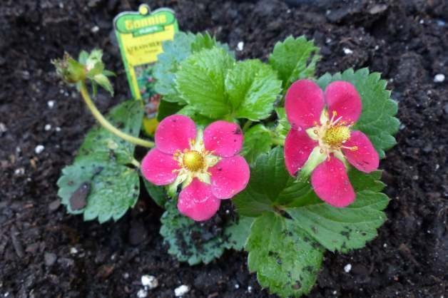 Pink-Flowered Strawberries