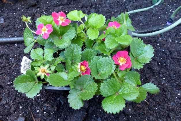 Pink Flowered Strawberries Fruit Garden