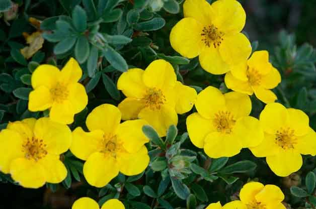 Top 10 Plants for Clay Soil: Potentilla