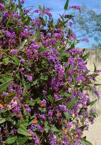 Hardenbergia violacea vine