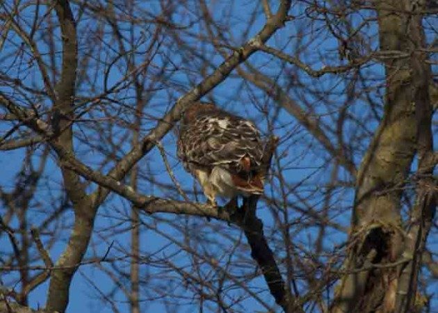 Backyard Bird Feeding: north american birds of prey Red-tailed Hawk