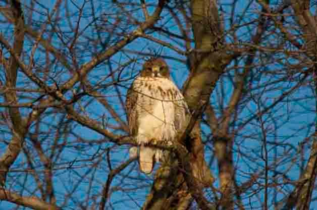 Backyard Bird Feeding: A Red-tailed Hawk in the Yard