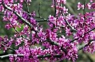 Flowering Trees for Your Backyard