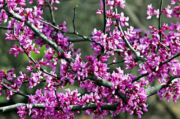 Flowering Trees for Your Backyard: Redbud