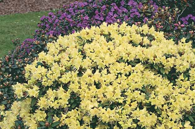 Top 10 Flowering Shrubs: Rhododendron