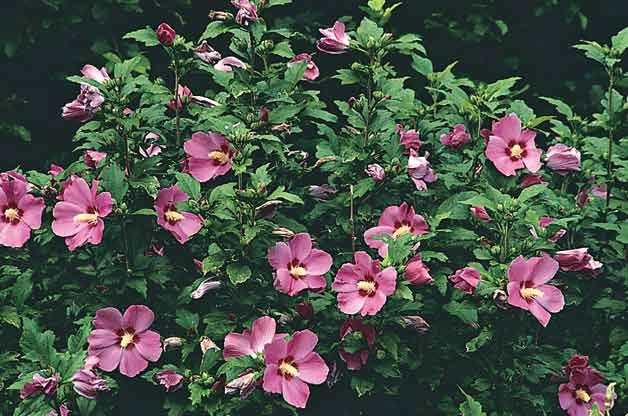 Top 10 Flowering Shrubs: Rose of Sharon