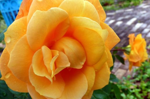 Roses Gold Medal