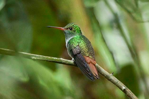 Rufous-tailed Hummingbird The Lodge at Pico Bonito Birding Hotspots