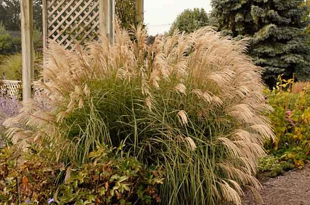 Gardening with Ornamental Grasses: Miscanthus