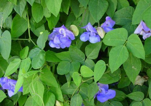Snail Vine Flower