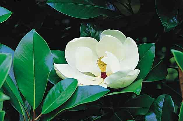 Flowering Trees for Your Backyard: Southern Magnolia