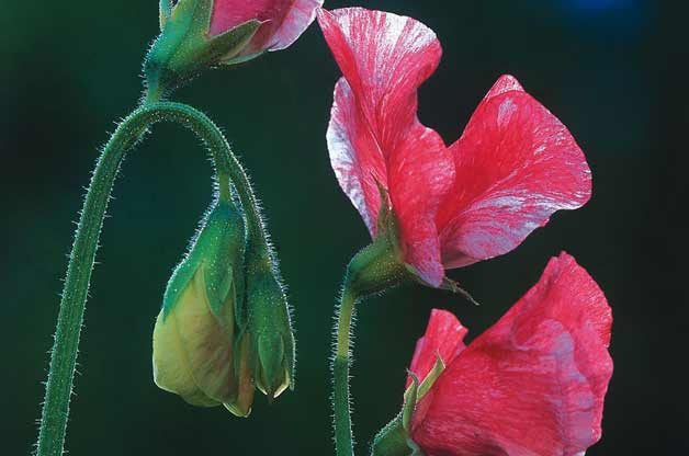 Flower Gardening with Fast Growing Vines: Sweet Pea