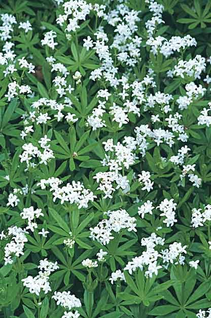 Grand Ground Cover Ideas: Sweet Woodruf