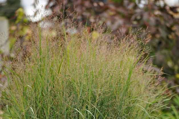 Top 10 Plants for Clay Soil: Switchgrass