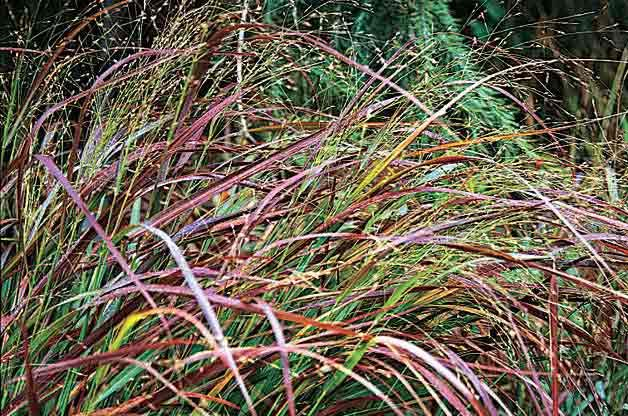 Gardening with Ornamental Grasses: Switchgrass