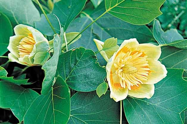 Flowering Trees for Your Backyard: Tulip Tree