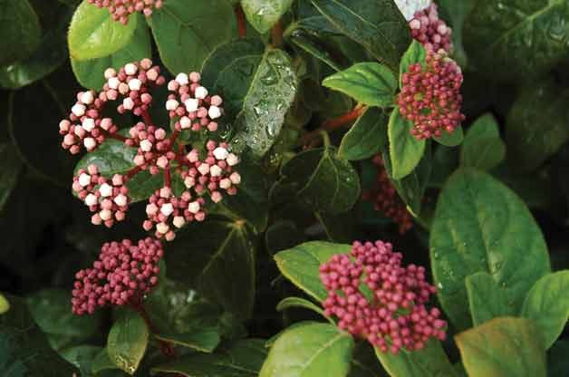 Top 10 Plants for Clay Soil: Viburnum