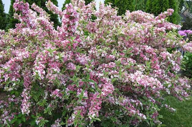 Top 10 Flowering Shrubs: Weigela