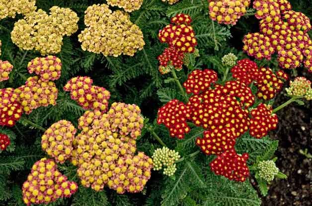Top 10 Drought-Tolerant Plants: Yarrow