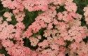 Top 10 Plants for Sandy Soil: Yarrow