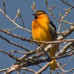 How to Attract Orioles: Bullock's Oriole