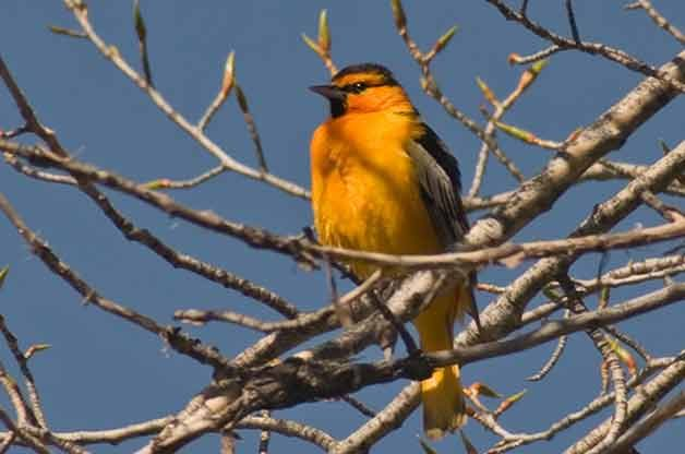 How to Attract Orioles | Attracting Birds - Birds & Blooms