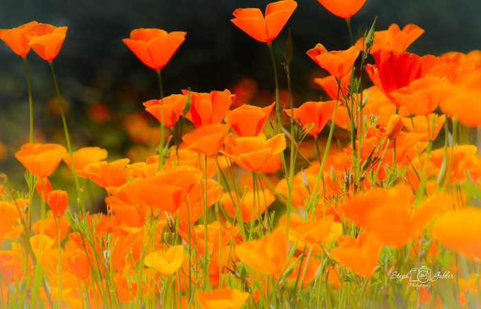 california poppies, drought tolerant plants