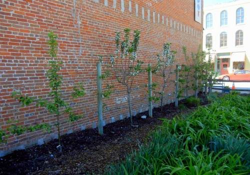 espaliered_apple_trees