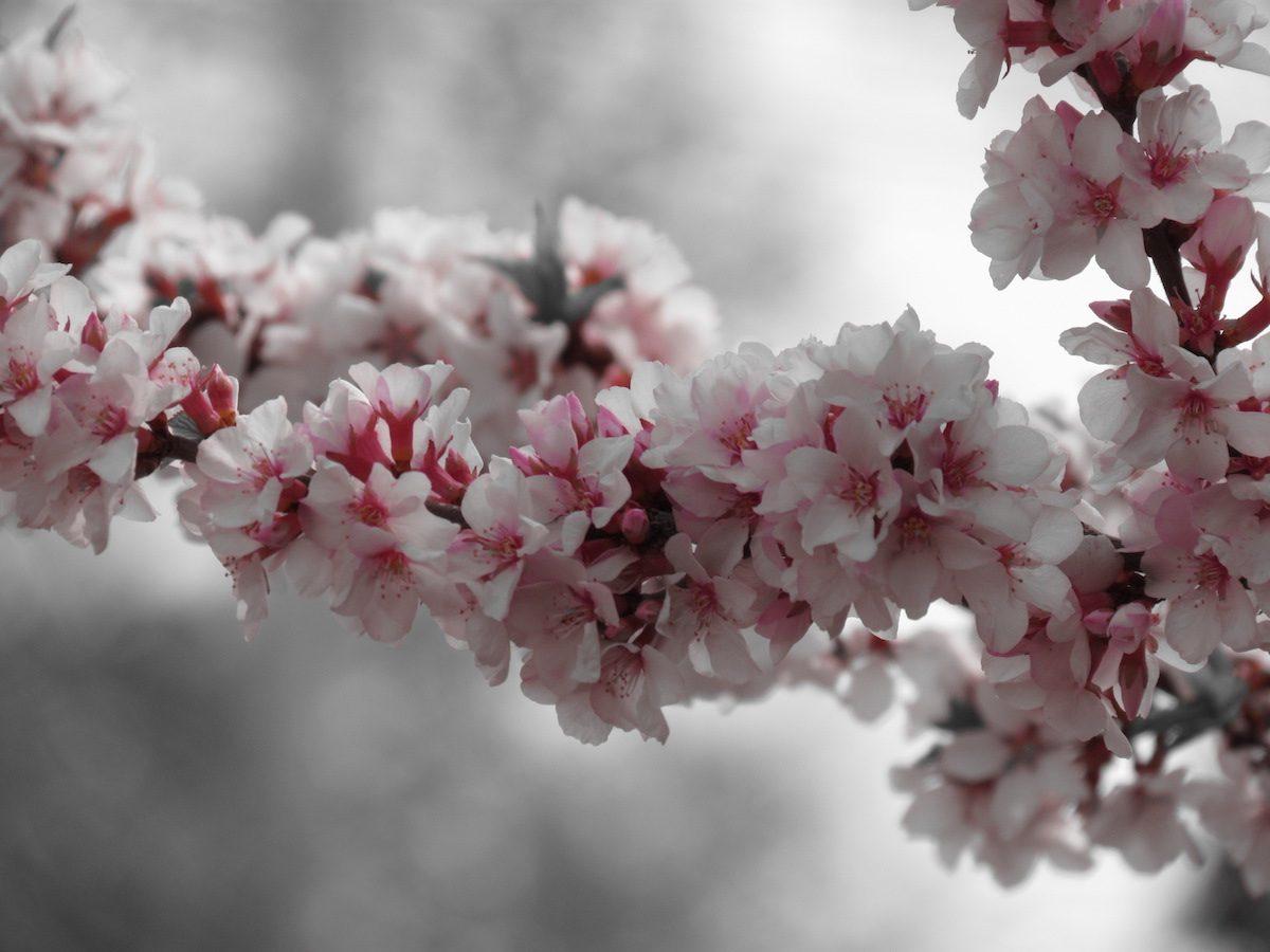 nanking cherry shrub