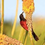How to Attract Orioles: Orchard Oriole