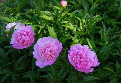 pink_peonies