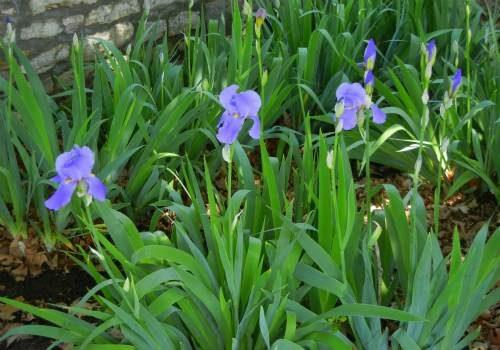 purple_iris