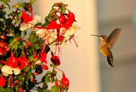 Using Nectar Flowers to Attract Hummingbirds